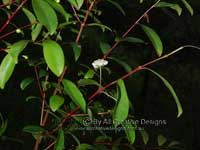 Simple inflorescence Plum Myrtle Flower