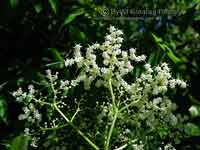 Flower Panicles