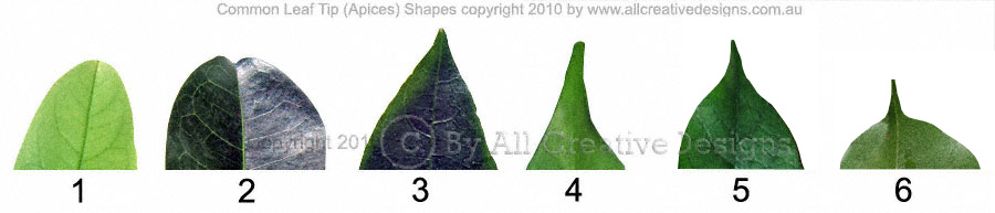 Leaf Apices Tips Common Shapes