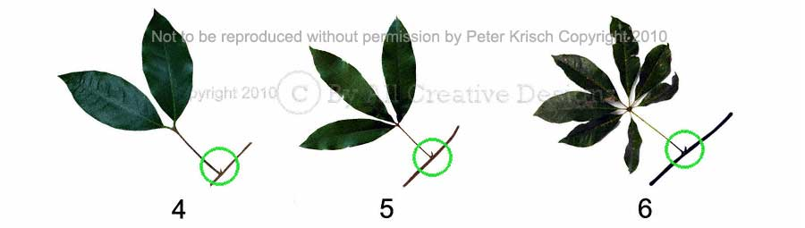 Identification Compound Leaf Characteristics Palmate