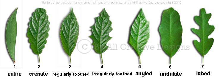 Leaf Margins Australian Tree Images