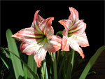 Hipppieastrum white-pink Selection