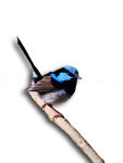 Superb Blue Fairy-wren