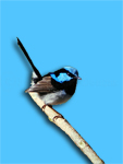 Superb Blue Fairy-wren Malurus cyaneus male