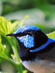 Malurus cyaneus male Superb Blue Fairy-wren