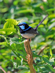 Superb Blue Fairy-wren male