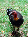 Australian Brush-Turkey Aletura lathami