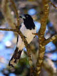 Pied Butcherbird Cracticus nigrogularis