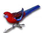 Crimson Rosella Platycercus elegans on white