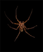 Huntsman Spider Selection on black