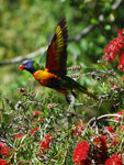 Rainbow Lorikeet Trichoglossus haematodus in flight