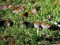 Red-browed Finches Group