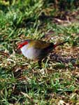 Neochmia temporalis Red-browed Finch