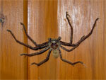 Huntsamn Spider Woolly