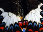 Butterfly Swallowtail Detail