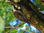 White-throated Treecreeper Cormobates leucaphaea