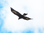 Aquila audax Wedge-tailed Eagle 2