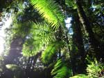 Forest Bangalow Palms