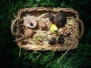 Basket of boletes