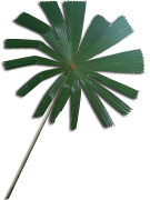 Fan Palm on white background