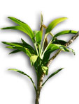 Broad-leaved Palm Lily