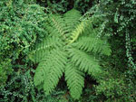 Treefern from top