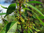 Flower Dodonaea triquetra Large-leaf Hop Bush