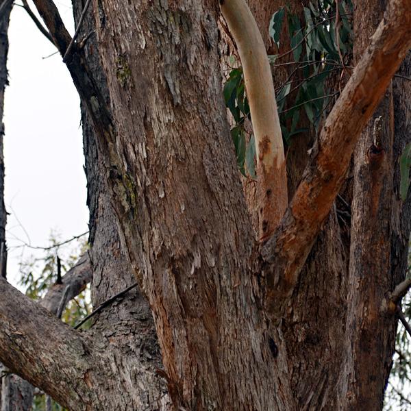Bark Characteristics In Tree Identification Australia