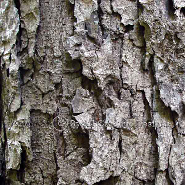 Bark of Red Cedar Toona ciliata