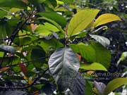 Red-leaved Fig