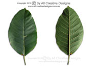 Ficus drupacea Drupe Fig leaves