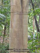 Figwood Ficus virgata Bark
