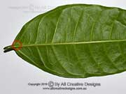 Ficus virgata leaf venation