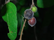 Creek Sandpaper Figs, Ficus coronata Fruit