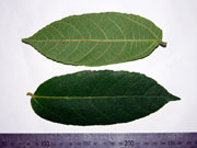 Creek Sandpaper Figs, Ficus coronata Leaves