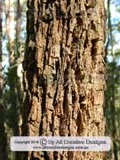Forest Oak Allocasuarina torulosa Bark