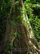 Giant Stinging Tree Trunk