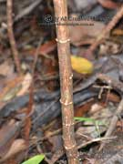 Golden Tip Bark Goodia lotifolia