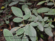Golden Tip Goodia lotifolia Foliage