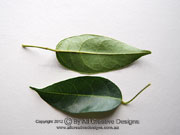 Grease Nut Tree Leaves Hernandia bivalvis