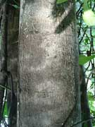 Grey Possumwood Quintinia verdonii Bark