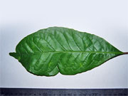 Grey Possumwood Leaf Quintinia verdonii