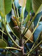 Ficus macrophylla Moreton Bay Fig Stipule