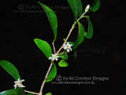 Flower Pittosporum lancifolium