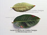 Native Crepe Myrtle Leaves Lagerstroemia archeriana