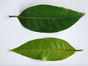 Native Guava Rhodomrytus psidioides Leaves