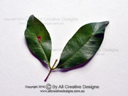 Leaves Purple Cherry Syzygium crebrinerve