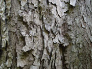 Toona ciliata Bark Red Cedar