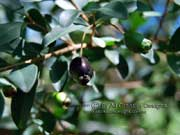 Small-leaved Plum Myrtle Fruit Pilidiostigma rhytispermum