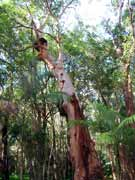 Smooth-barked Apple Angophora costata